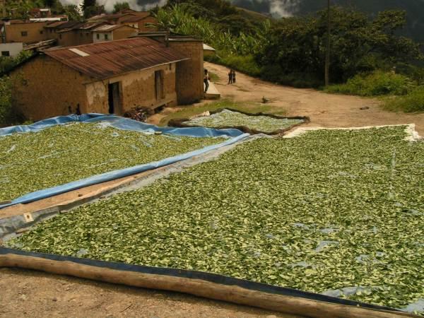 Coca levél szárítás a bolíviai szubtrópusokon